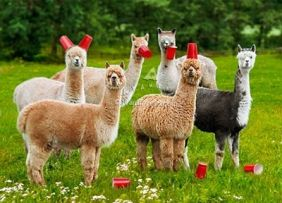 BIRTHDAY SIX-PACA (ALPACA)