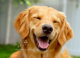 AVANTI SMILING GOLDEN RETRIEVER BIRTHDAY CARD #200078