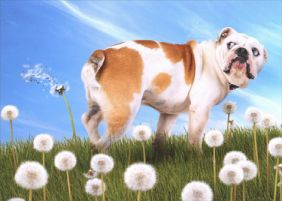 BULLDOG WITH DANDELION BIRTHDAY CARD