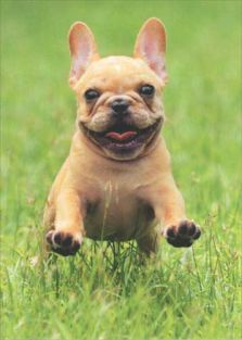 FRENCHIE JUMPING/GRASS BLANK