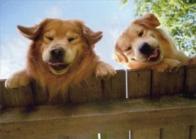 GOLDENS OVER FENCE GET WELL